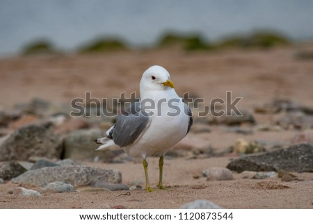 European Herring Gull is one of the best known of all gulls along the shores of Western Europe. #1120873544