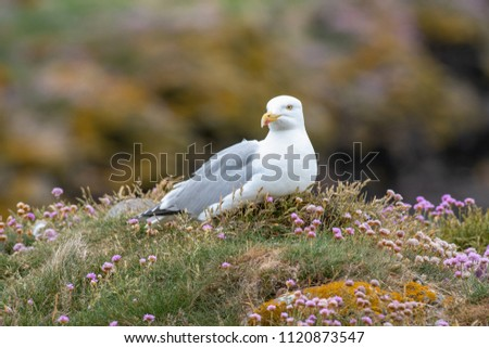 European Herring Gull is one of the best known of all gulls along the shores of Western Europe. #1120873547
