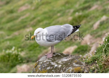 European Herring Gull is one of the best known of all gulls along the shores of Western Europe. #1120873550