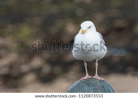 European Herring Gull is one of the best known of all gulls along the shores of Western Europe. #1120873553