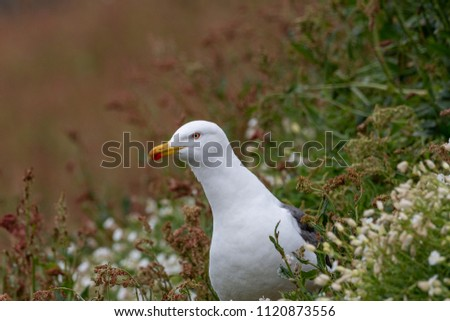 European Herring Gull is one of the best known of all gulls along the shores of Western Europe. #1120873556