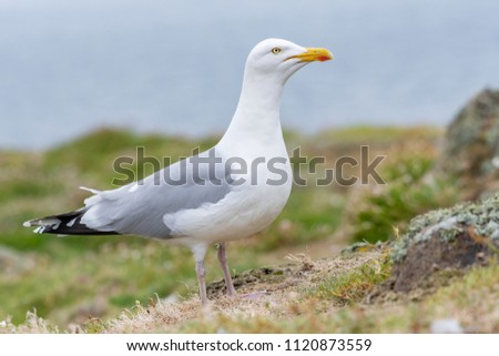 European Herring Gull is one of the best known of all gulls along the shores of Western Europe. #1120873559
