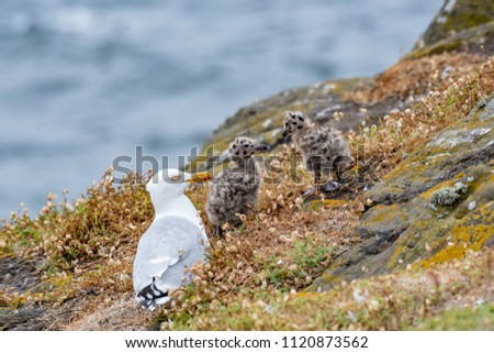 European Herring Gull is one of the best known of all gulls along the shores of Western Europe. #1120873562