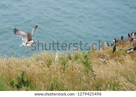 European herring gull, Larus argentatus, attacking an Atlantic Puffin flying into Skomer Island making them drop their catch of sand eels, Pembrokeshire, Wales, UK