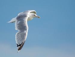 European Herring Gull (Larus argentatus) is flying on blue sky background. Funny big bird.