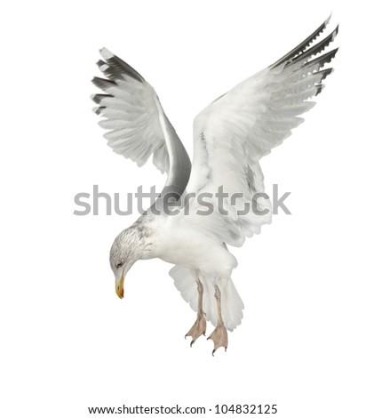European Herring Gull, Larus argentatus, 4 years old, flying against white background - stock photo