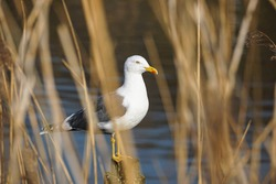 European herring gull on the river behind reeds