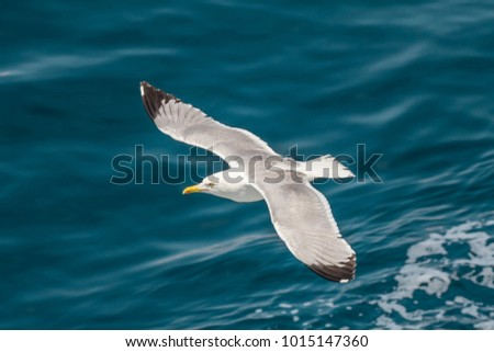 European herring gull, seagull (Larus argentatus) flying in the summer along the shores of Aegean sea near Athens, Greece