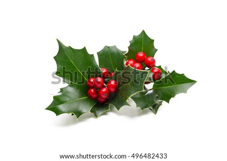 European Holly (Ilex aquifolium) leaves and fruit #496482433
