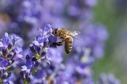 European honey bee( Apis mellifera) on a lavender flower