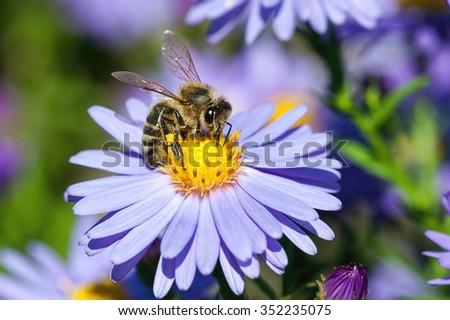 European honey bee( Apis mellifera) on aster flower