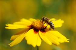 European honey bee sitting and pollinating on yellow large-flowered tickseed blossom