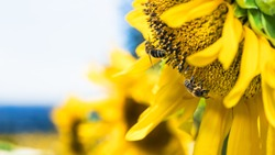European honey bees on common sunflower blooms detail. Apis mellifera. Helianthus annuus. Close-up of two honeybees foraging pollen on yellow flower head with copy space on summer blue sky background.