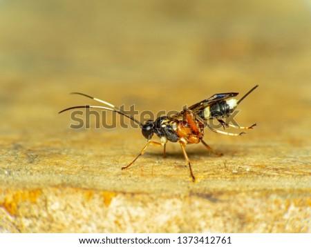European hornet marco short (Vespa crabro) busy building a hornet's nest