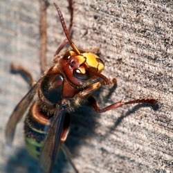 European Hornet (Vespa crabro), close-up. The European Hornet is the largest eusocial wasp native to Europe. European hornet on the old wood.