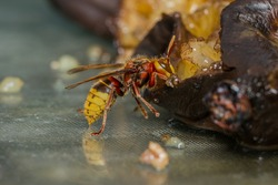 European Hornet (Vespa crabro) feeding on a rotten banana as the summer season younsters don't need feeding at this stage. The hornets are tempted by any sweet food at this stage.