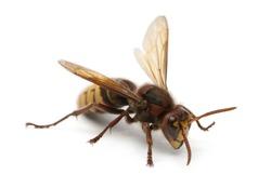European hornet, Vespa crabro, in front of white background