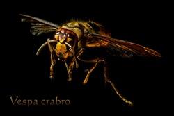 European Hornet (Vespa crabro) on black background