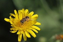 European hover-fly or flower fly Latin name episyrphus balteatus feeding on a yellow prickly sow-thistle flower Latin name sonchus asper or oleraceus