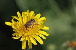 European hover-fly or flower fly Latin name episyrphus balteatus feeding on a yellow prickly sow-thistle flower Latin name sonchus asper or oleraceus