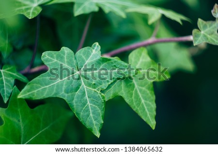 European ivy, English ivy or ivy. Can be used as a background or texture. #1384065632