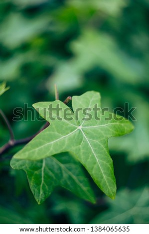 European ivy, English ivy or ivy. Can be used as a background or texture. #1384065635