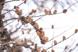 European larch (Larix decidua) dry seed corns on tree branchs in the winter