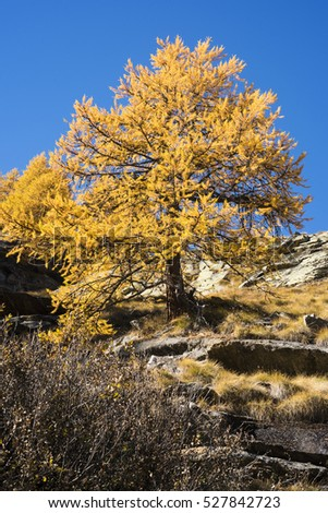 European larch (Larix decidua) in its habitat, mountain environment during the autumn. Yellow tree on clear blue background. Valle d'Aosta, Alps, Italy.