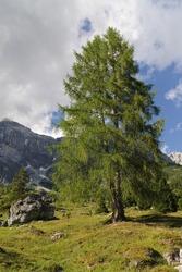 European larch (Larix decidua) on alpine pasture, mountain Hochkonig, Salzburg, Austria
