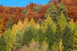 European larches (Larix decidua) and beech (Fagus sp.) trees, autumnal colours, Upper Franconia, Bavaria, Germany