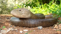 European legless lizard, Pallas's glass lizard, Pseudopus apodus, sheltopusik, scheltopusik. It's looks like a snake. It's a non venomous reptile, harmless. Reptiles, animals, animal, wildlife, pet