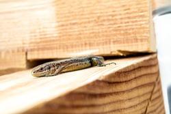 European lizard in sunlight sitting on a bench in Ireland