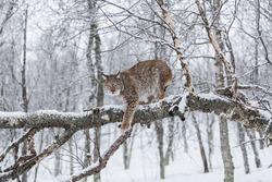 European Lynx walking on a snowy tree
