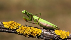 European mantis, mantis religiosa, standing on a branch with yellow moss and looking into camera in summer at sunset. Animal wildlife in nature. Green insect with antennas from side view.