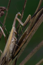 European mantis, Mantis religiosa, standing on plant in summer at sunset. Green insect with long legs and antennas clinging on plant.
