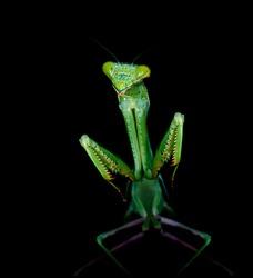 European Mantis, Praying Mantis or Mantis Religiosa (Mantidae) on black background