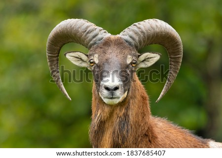 European mouflon (Ovis aries musimon) standing in the grass in the forest. Beautiful brown furry mouflon with horns in its environment with soft background. Wildlife scene from nature. Czech Republic Stockfoto ©