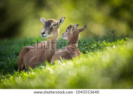 European mouflon (Ovis orientalis musimon) female with a youngster resting in green grass