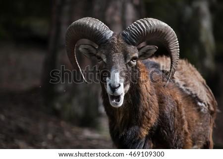 European mouflon (Ovis orientalis musimon). Wildlife animal.