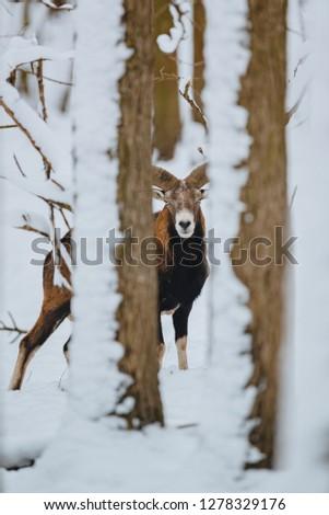 European mouflon ram in the winter forest #1278329176