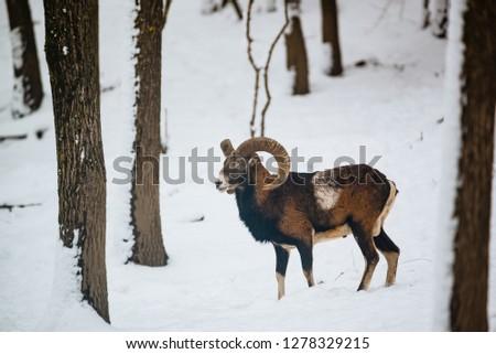 European mouflon ram in the winter forest #1278329215