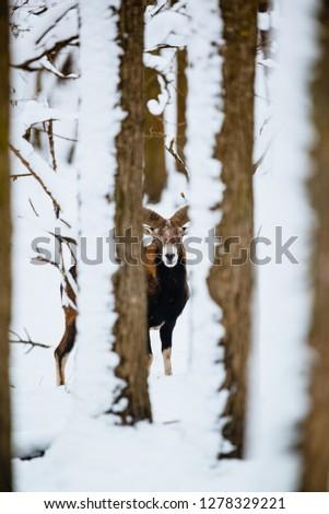 European mouflon ram in the winter forest #1278329221