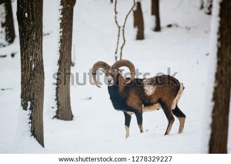 European mouflon ram in the winter forest #1278329227