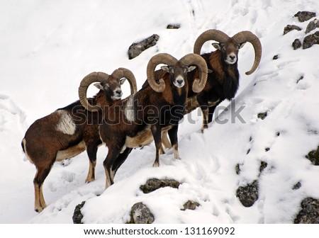 European mouflons in the snow