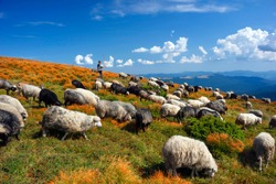 European mountains traditional shepherding in high-altitude fields. Shepherds with dogs graze large flocks of sheep that provide wool, milk and meat. The highest peak of Ukraine is Goverla.