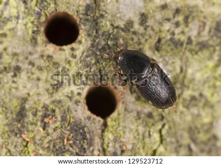 European oak bark beetle, Scolytus intricatus, extreme close-up