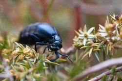 European Oil Beetle Meleo scarabeus Macro