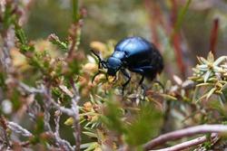 European Oil Beetle Meleo scarabeus Macro in Swiss alps
