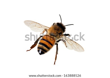 European or Western honey bee, isolated on white, wingspan 18mm