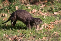 European otter, Lutra lutra, walks on green grass, a predatory mammal of the mustelid family